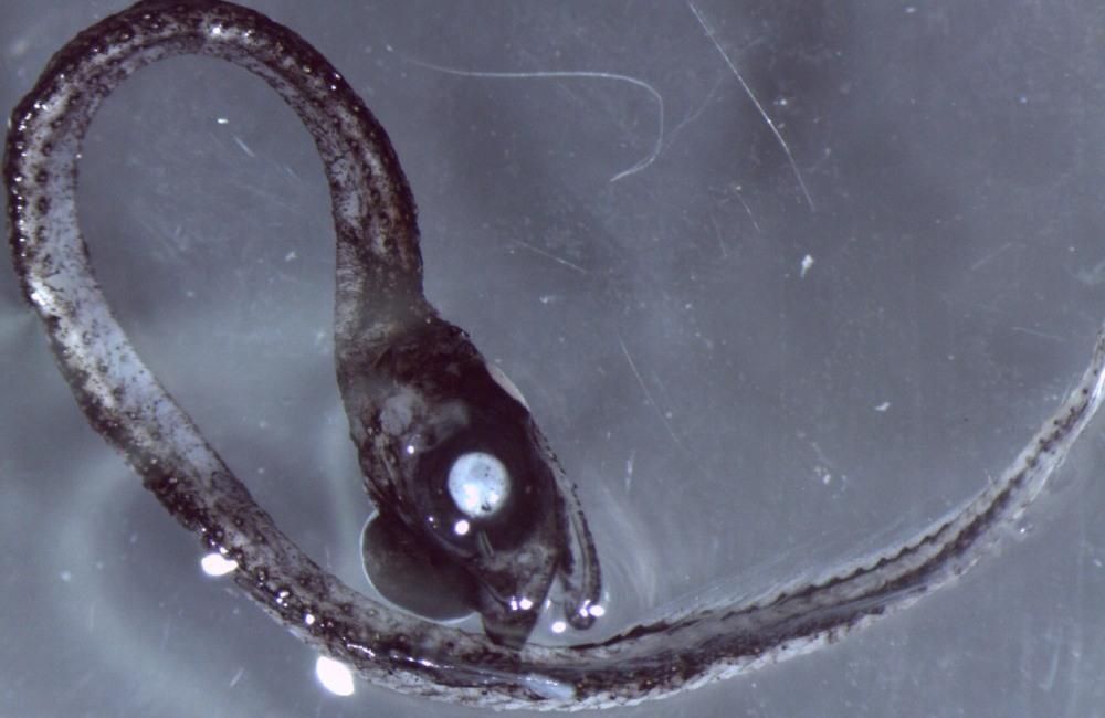 alien fish2