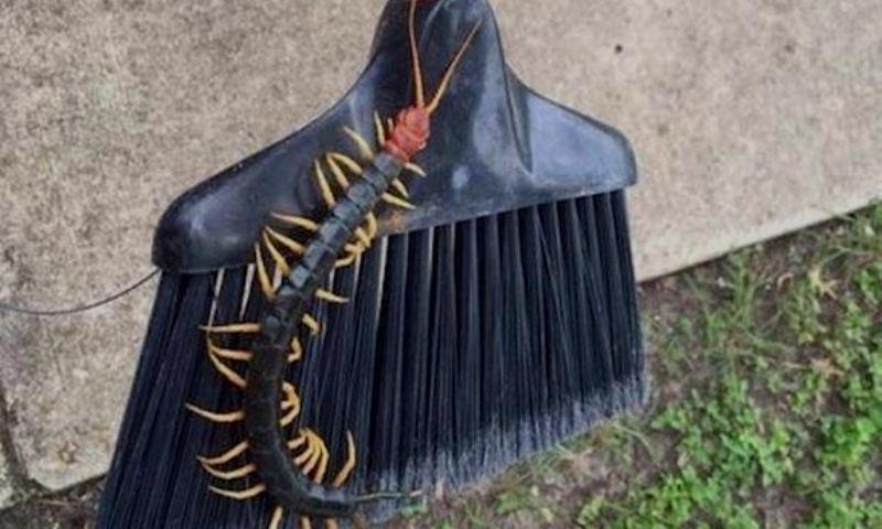 giant-redheaded-centipede