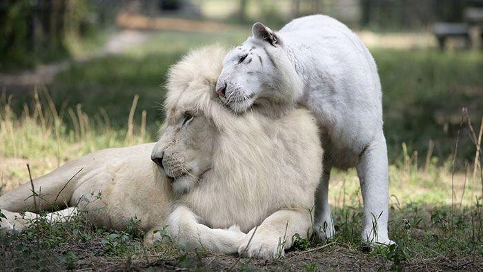 beli lavovi