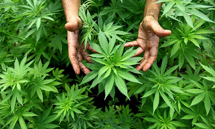 growing-cannabis-hands