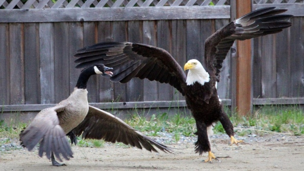 goose-vs-eagle