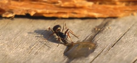 mravka