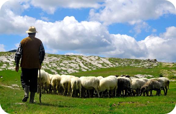 ovcar