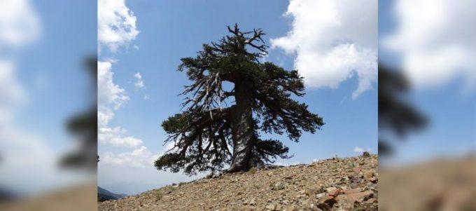 adonis drvo