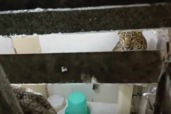 leopard vo hotelska soba