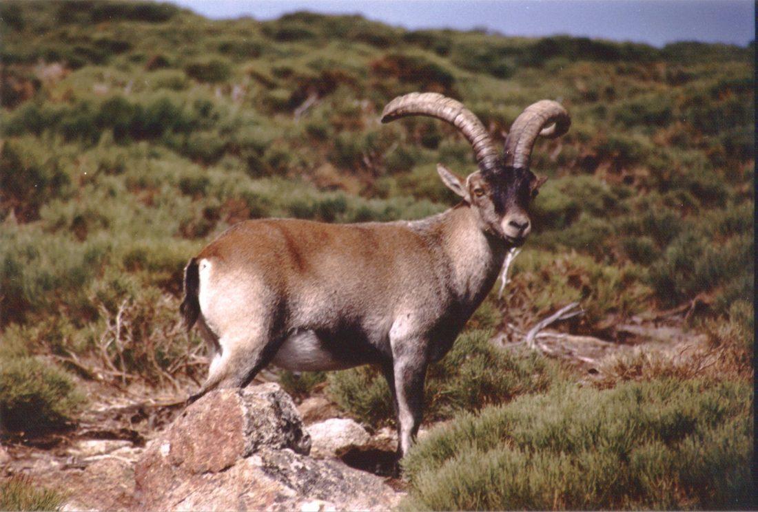 Capra-pyrenaica-pyrenaica1