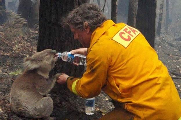 Пожарникар дава вода на коална од како ја спасил од пожар во Австралија во 2008 година